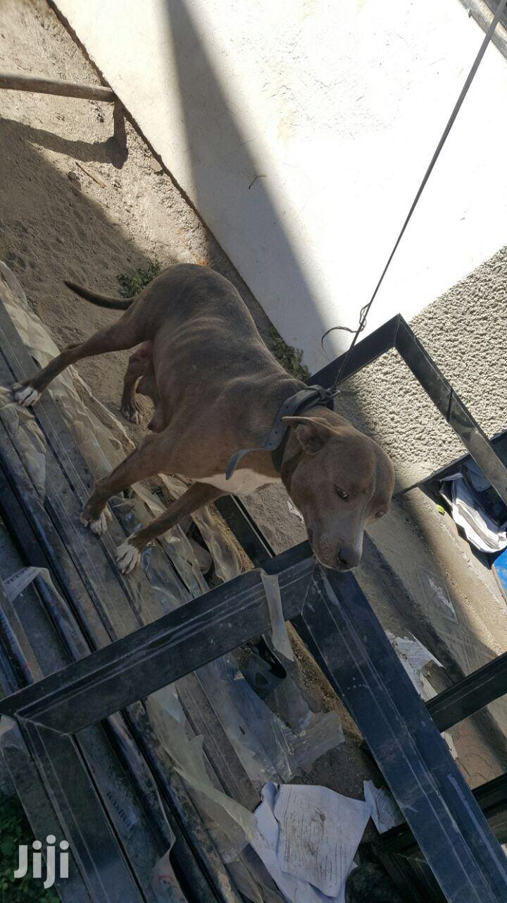 0-1 month Male Purebred American Pit Bull Terrier | Dogs & Puppies for sale in Yeka, Addis Ababa, Ethiopia