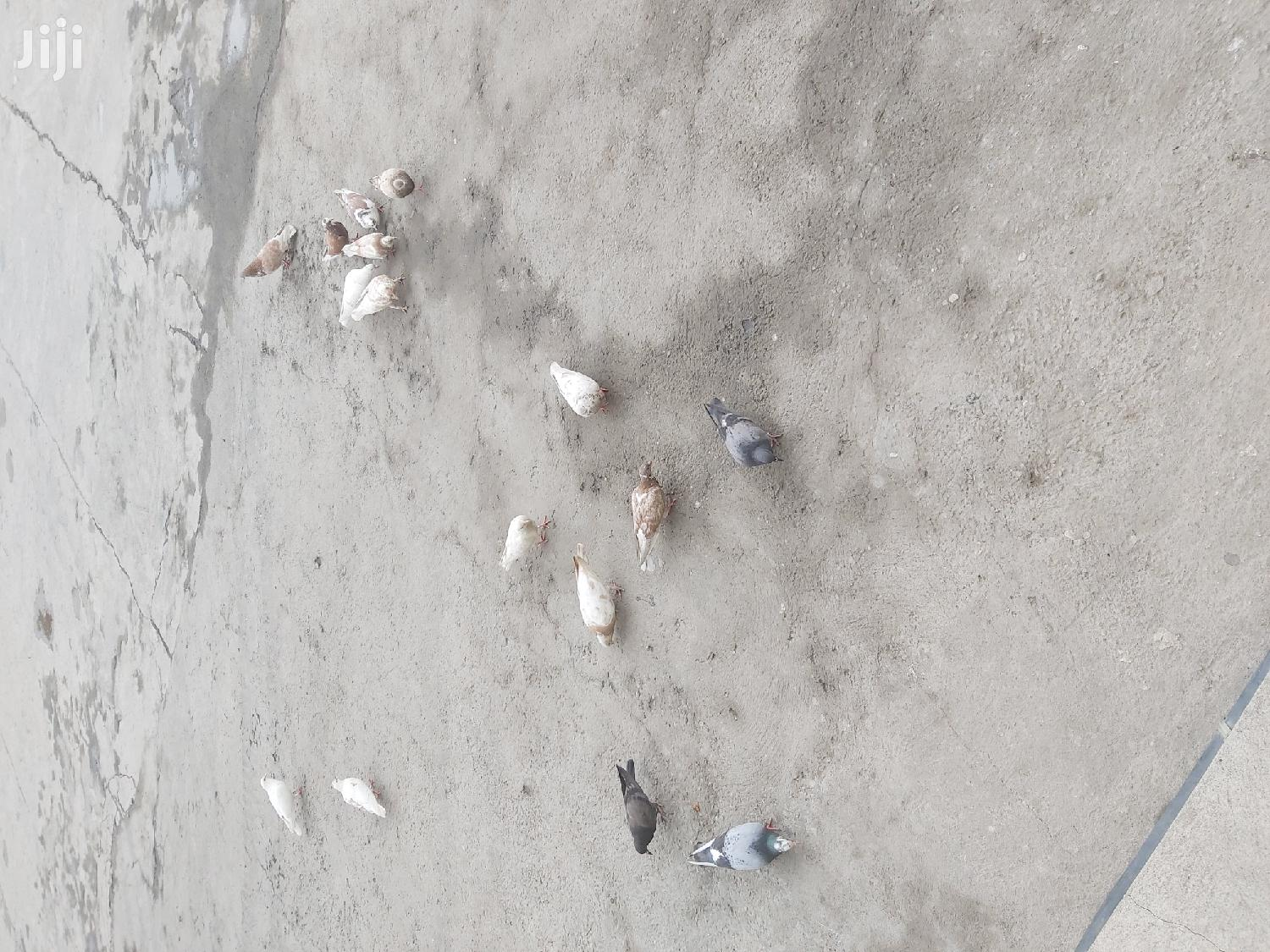 Archive: Different Pigeons