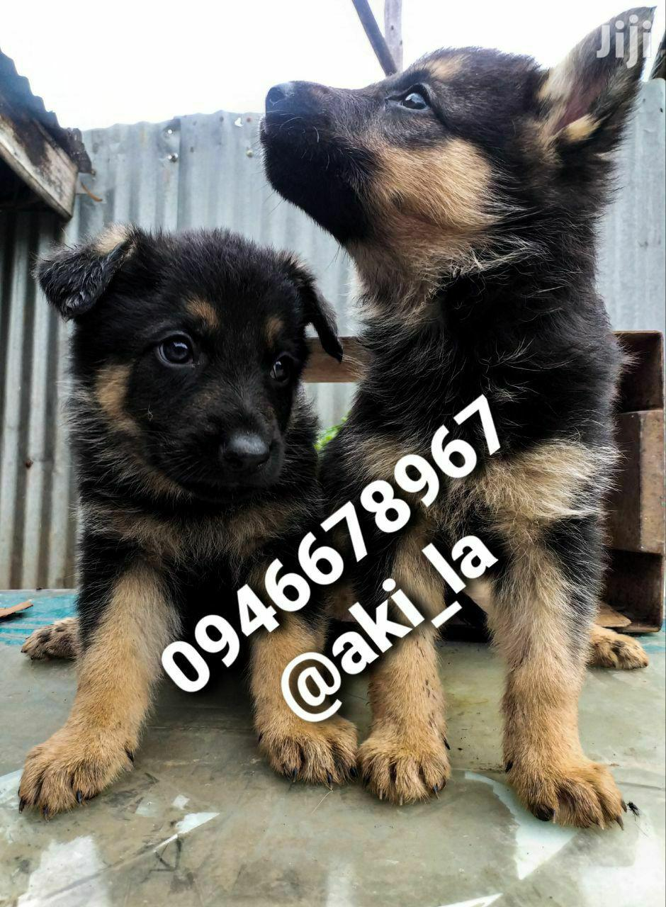 1-3 Month Female Purebred German Shepherd | Dogs & Puppies for sale in Yeka, Addis Ababa, Ethiopia