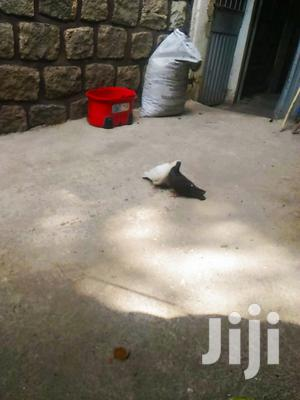 Nice Pigons for Sale | Birds for sale in Addis Ababa, Bole