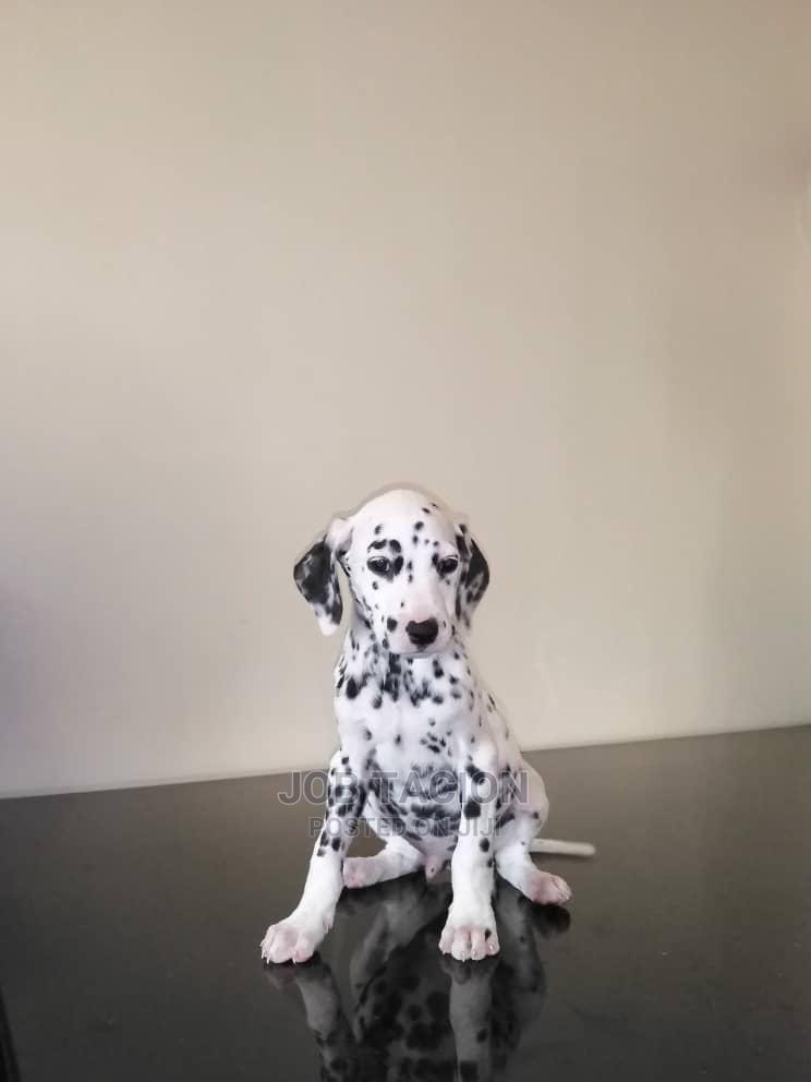Archive: 0-1 Month Male Purebred Dalmatian