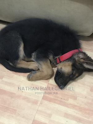 1-3 Month Male Purebred German Shepherd   Dogs & Puppies for sale in Addis Ababa, Nifas Silk-Lafto