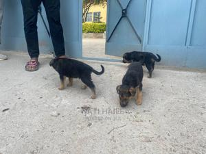 1-3 Month Male Purebred German Shepherd   Dogs & Puppies for sale in Addis Ababa, Kirkos