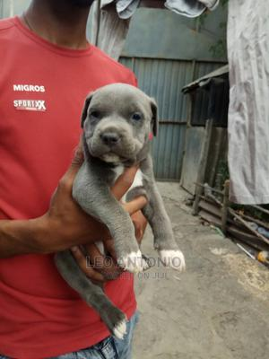 0-1 Month Male Purebred American Pit Bull Terrier | Dogs & Puppies for sale in Addis Ababa, Nifas Silk-Lafto