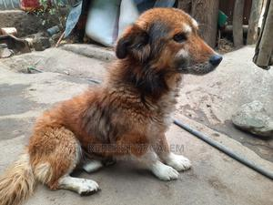 1+ Year Male Mixed Breed Dog | Dogs & Puppies for sale in Oromia Region, West Arsi