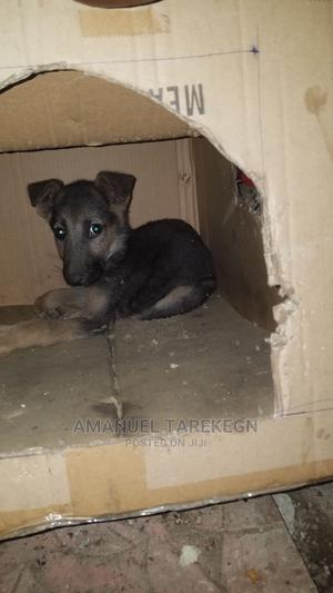 1-3 Month Female Purebred German Shepherd   Dogs & Puppies for sale in Addis Ababa, Yeka