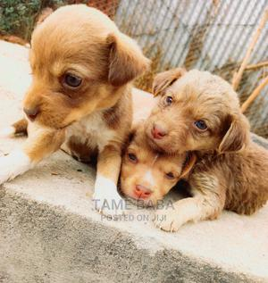 1-3 Month Female Purebred Australian Terrier | Dogs & Puppies for sale in Addis Ababa, Nifas Silk-Lafto