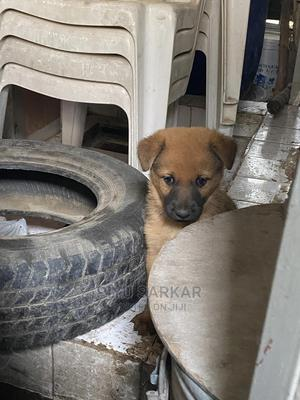 1-3 Month Female Mixed Breed German Shepherd   Dogs & Puppies for sale in Addis Ababa, Bole