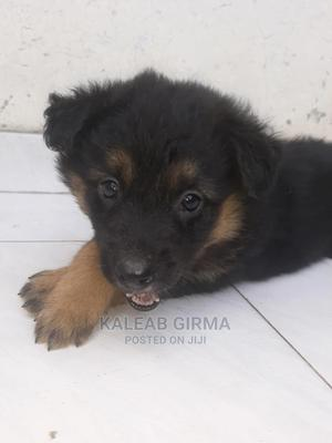 1-3 month Male Mixed Breed German Shepherd   Dogs & Puppies for sale in Addis Ababa, Nifas Silk-Lafto