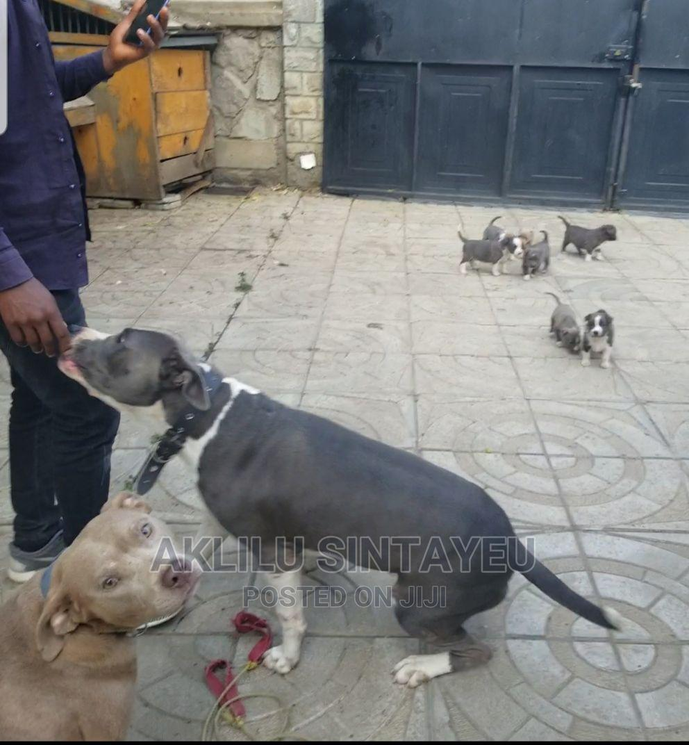 0-1 Month Male Purebred American Pit Bull Terrier   Dogs & Puppies for sale in Yeka, Addis Ababa, Ethiopia
