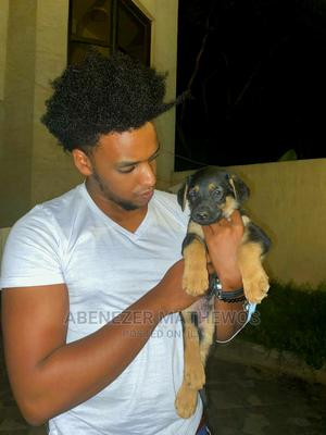 1-3 Month Male Purebred German Shepherd   Dogs & Puppies for sale in Addis Ababa, Akaky Kaliti