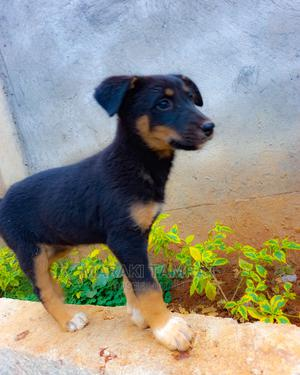 1-3 Month Female Mixed Breed German Shepherd   Dogs & Puppies for sale in Addis Ababa, Nifas Silk-Lafto