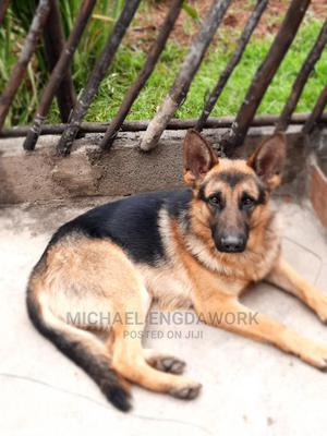 1-3 Month Male Purebred German Shepherd   Dogs & Puppies for sale in Addis Ababa, Yeka