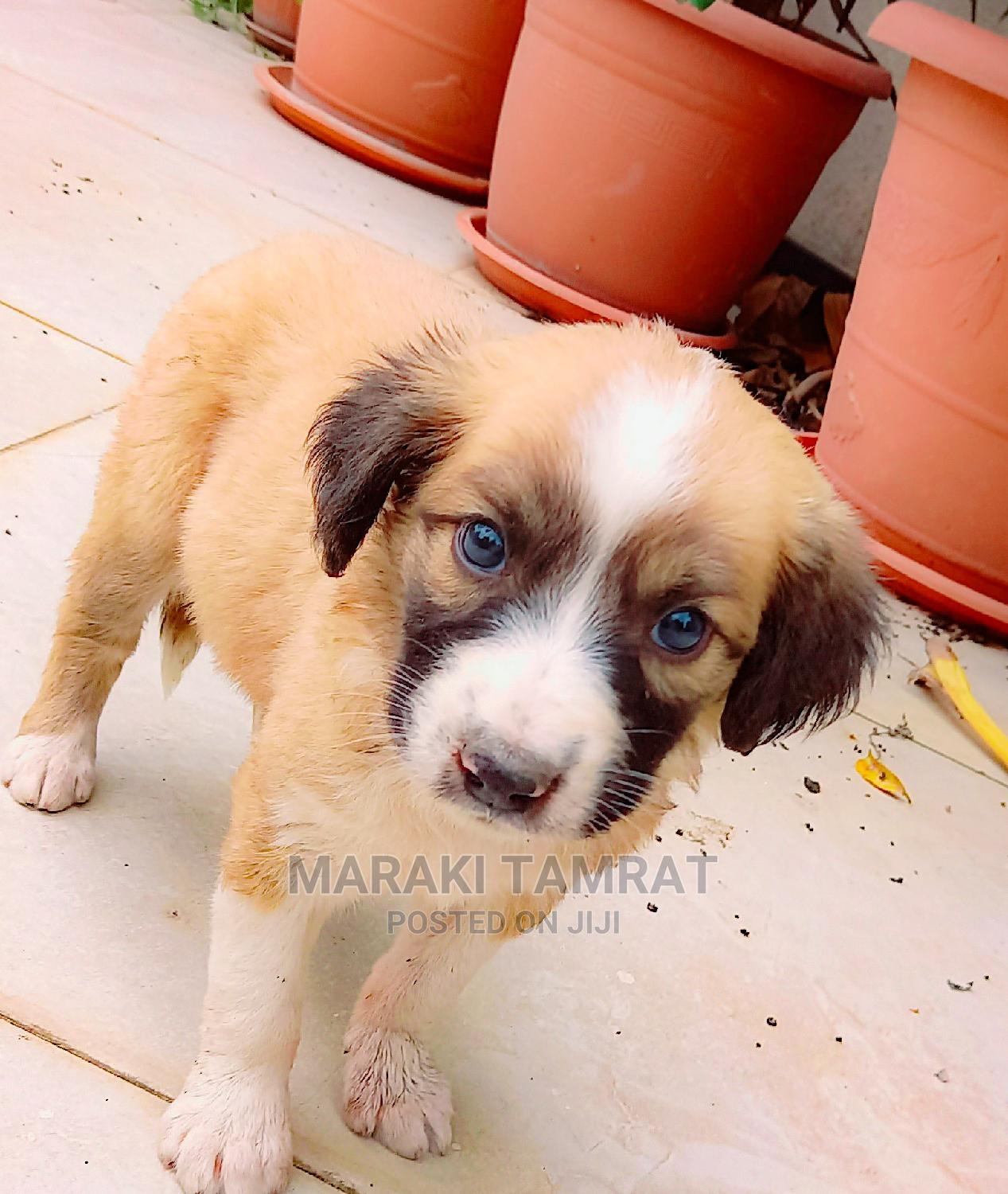 Archive: 1-3 Month Male Mixed Breed Chihuahua