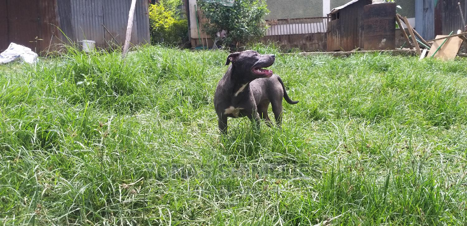 Archive: 3-6 Month Female Purebred American Pit Bull Terrier