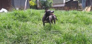 3-6 Month Female Purebred American Pit Bull Terrier | Dogs & Puppies for sale in Addis Ababa, Yeka