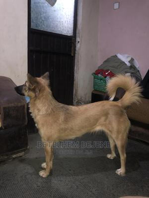 1+ year Female Mixed Breed Dog | Dogs & Puppies for sale in Addis Ababa, Kolfe Keranio