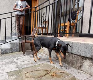 6-12 Month Male Purebred Doberman Pinscher | Dogs & Puppies for sale in Addis Ababa, Yeka