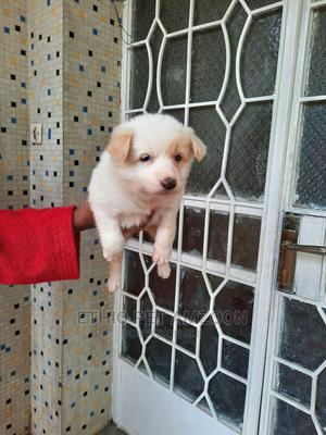 1-3 Month Male Mixed Breed Labrador Retriever   Dogs & Puppies for sale in Addis Ababa, Bole