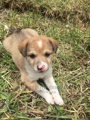 0-1 Month Female Mixed Breed Labrador Retriever   Dogs & Puppies for sale in Addis Ababa, Yeka