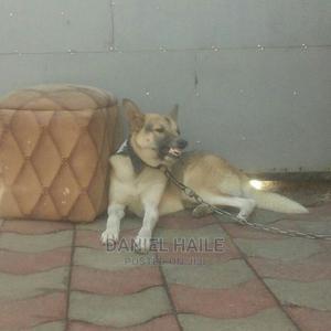 1+ Year Male Purebred German Shepherd   Dogs & Puppies for sale in Oromia Region, Adama