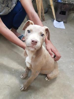 1-3 Month Female Purebred American Pit Bull Terrier | Dogs & Puppies for sale in Addis Ababa, Yeka