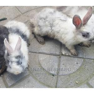 ጥንቸል 6 F 3M | Other Animals for sale in Addis Ababa, Bole
