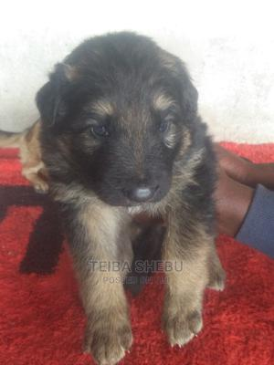 1-3 Month Male Purebred German Shepherd | Dogs & Puppies for sale in Addis Ababa, Yeka