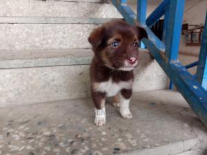 0-1 Month Female Purebred Collie | Dogs & Puppies for sale in Addis Ababa, Yeka