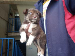 1-3 Month Male Purebred Akita | Dogs & Puppies for sale in Addis Ababa, Yeka