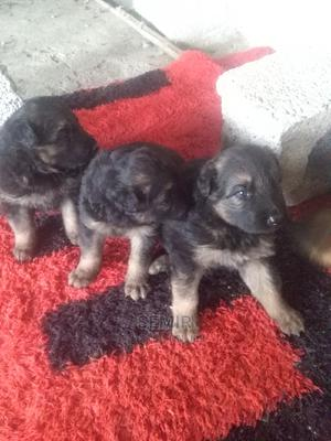 0-1 Month Male Purebred German Shepherd | Dogs & Puppies for sale in Addis Ababa, Yeka