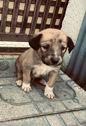 1-3 Month Male Purebred Labrador Retriever | Dogs & Puppies for sale in Addis Ababa, Nifas Silk-Lafto