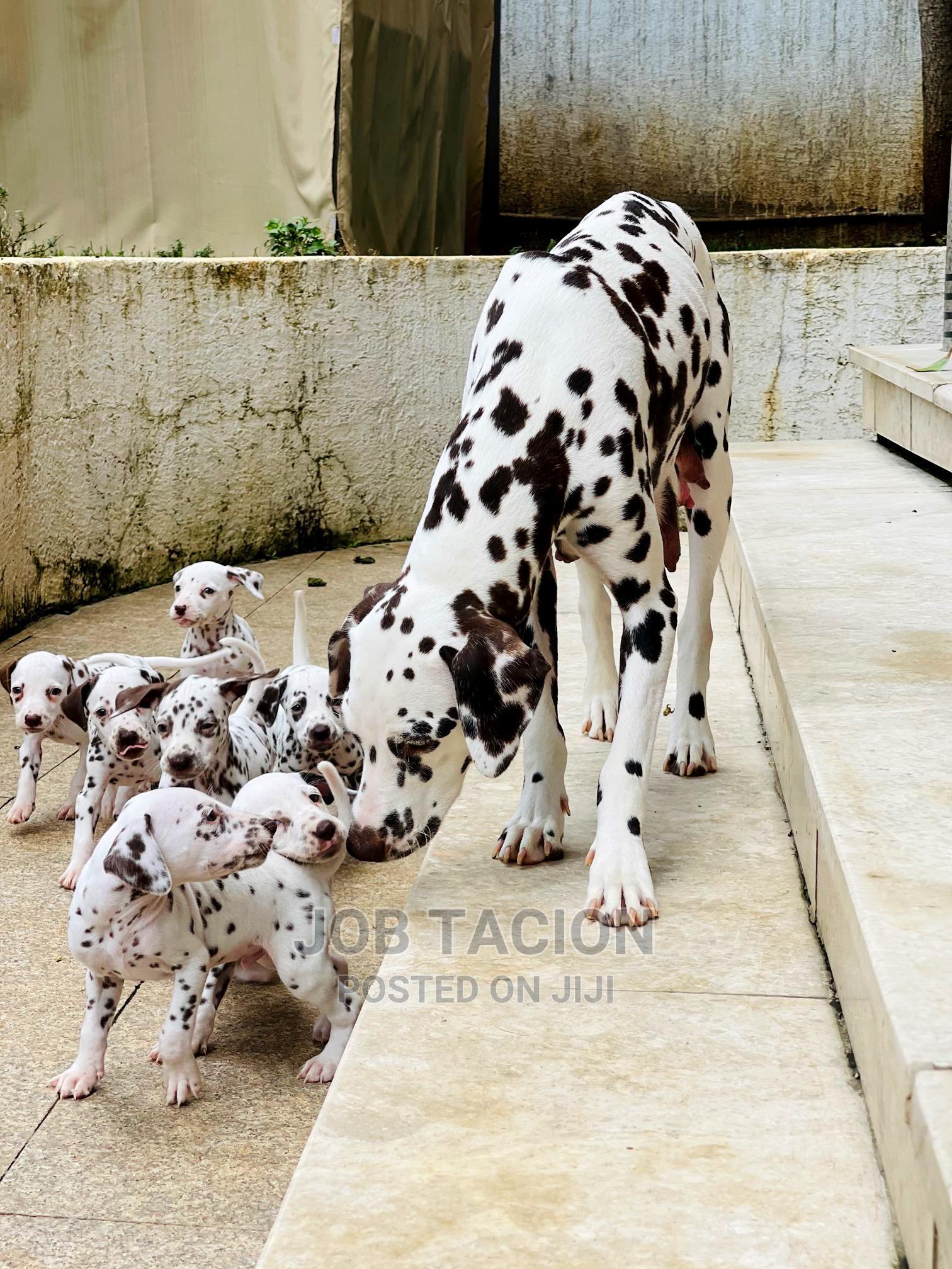Archive: 1-3 Month Male Purebred Dalmatian