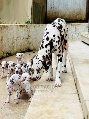 1-3 Month Male Purebred Dalmatian | Dogs & Puppies for sale in Addis Ababa, Bole