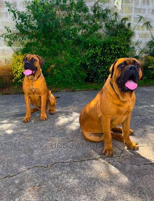 1-3 Month Male Purebred Bullmastiff | Dogs & Puppies for sale in Addis Ababa, Bole