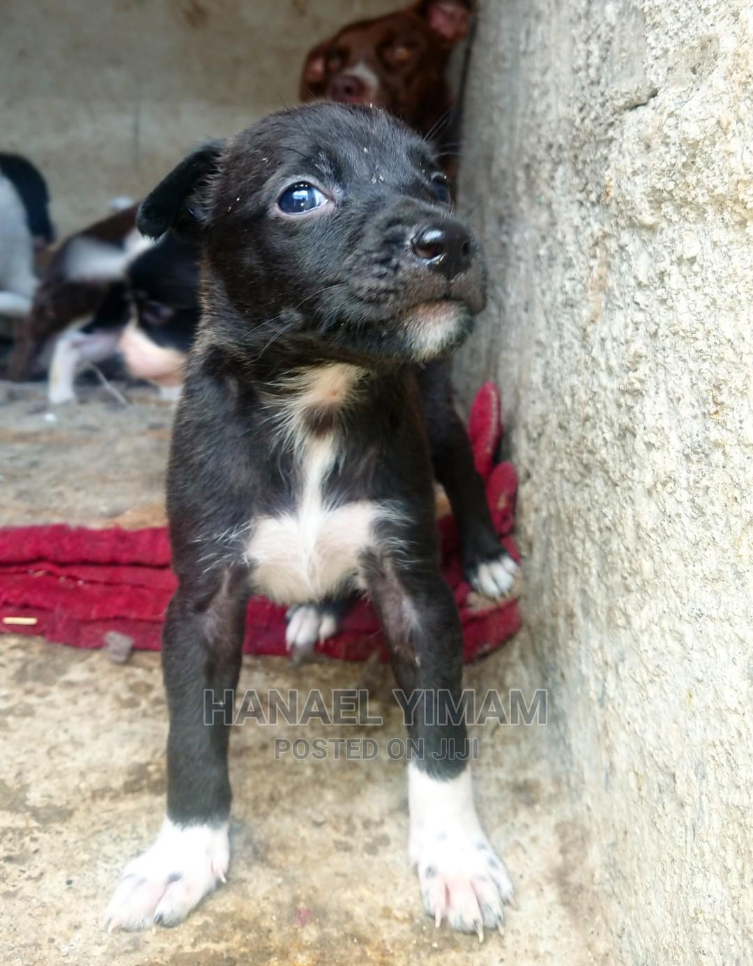 1-3 Month Male Mixed Breed American Pit Bull Terrier