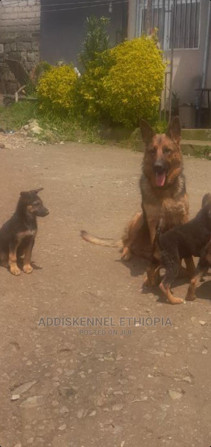 1-3 Month Male Purebred German Shepherd   Dogs & Puppies for sale in Bole, Addis Ababa, Ethiopia