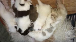 1-3 Month Male Purebred Dog | Dogs & Puppies for sale in Addis Ababa, Nifas Silk-Lafto