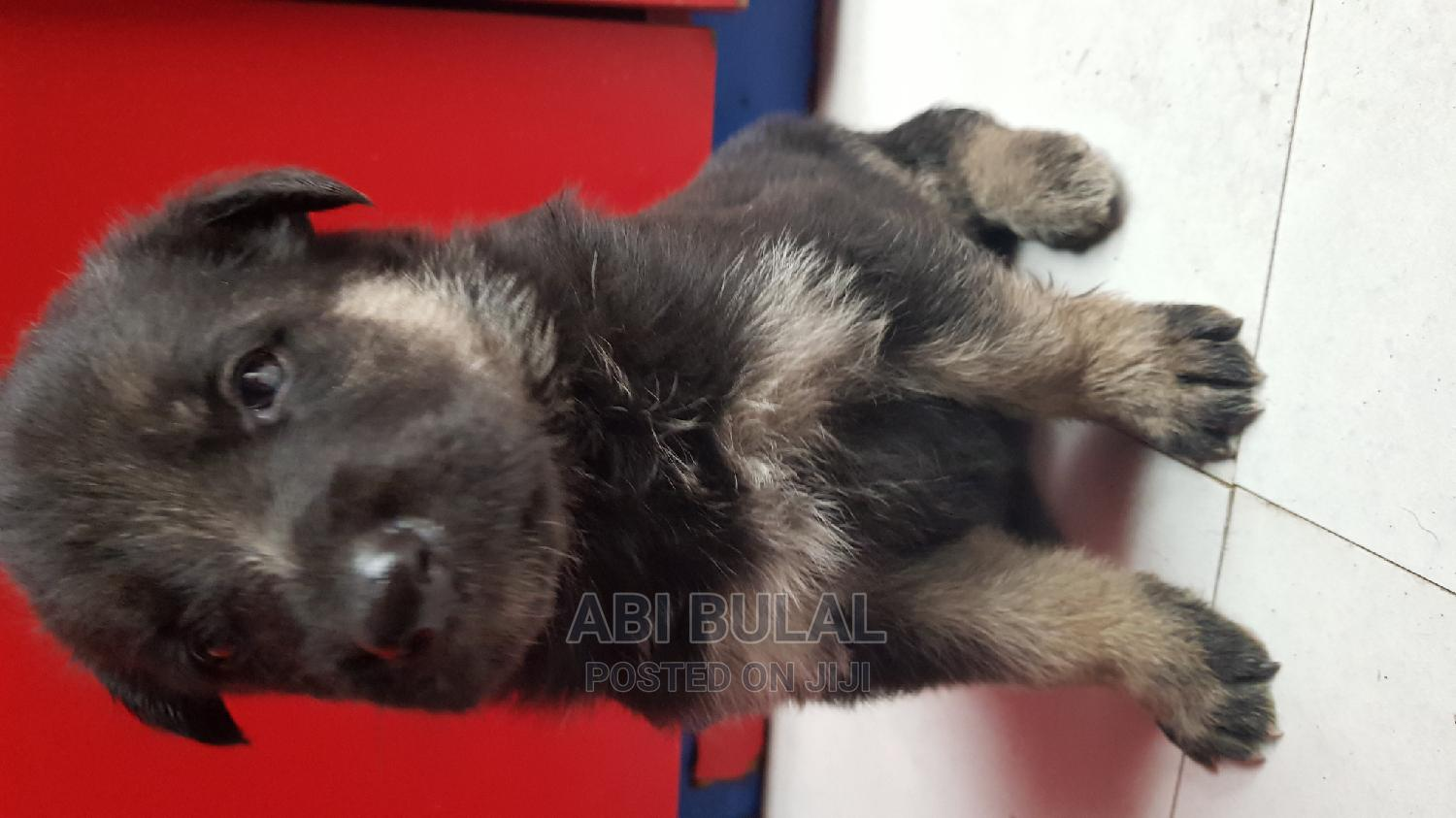 1-3 Month Male Purebred German Shepherd | Dogs & Puppies for sale in Bole, Addis Ababa, Ethiopia