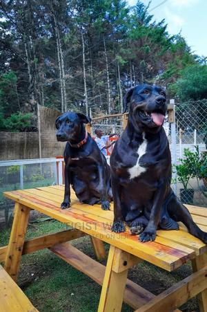 1-3 Month Female Purebred Doberman Pinscher | Dogs & Puppies for sale in Addis Ababa, Bole