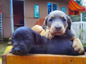 0-1 Month Male Purebred Doberman Pinscher | Dogs & Puppies for sale in Addis Ababa, Bole