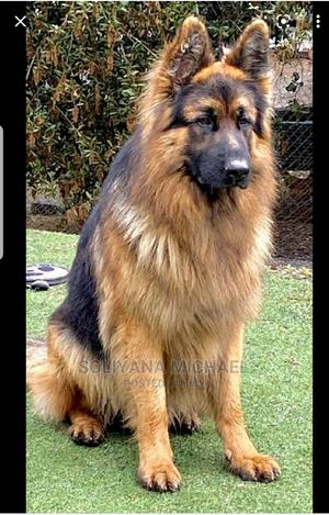 3-6 Month Male Purebred German Shepherd | Dogs & Puppies for sale in Addis Ababa, Yeka