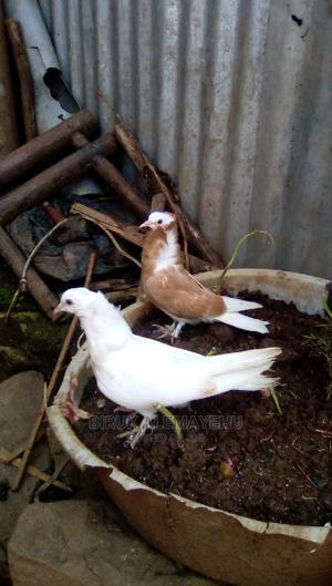 Pigon Pair | Birds for sale in Addis Ababa, Kolfe Keranio