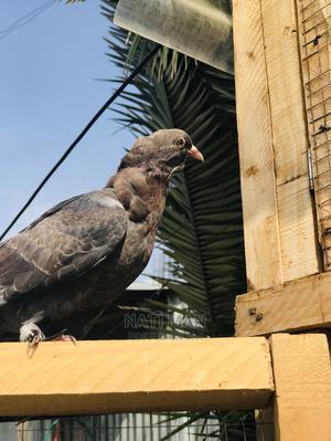 Chebrer Tsi Tsi Hulet | Birds for sale in Addis Ababa, Nifas Silk-Lafto