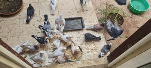 Pigeons More Than Twenty Available) | Birds for sale in Addis Ababa, Nifas Silk-Lafto