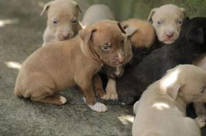 0-1 Month Male Purebred American Pit Bull Terrier | Dogs & Puppies for sale in Addis Ababa, Kirkos