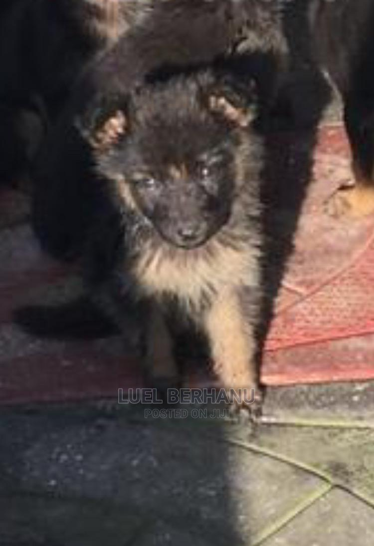 1-3 Month Male Purebred German Shepherd   Dogs & Puppies for sale in Nifas Silk-Lafto, Addis Ababa, Ethiopia
