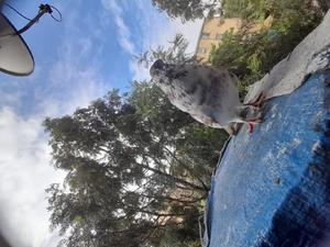 Male Pigeon | Birds for sale in Addis Ababa, Nifas Silk-Lafto