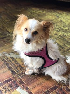 1-3 Month Female Purebred Maltese | Dogs & Puppies for sale in Addis Ababa, Kirkos