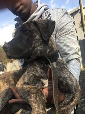 3-6 Month Female Mixed Breed Cane Corso | Dogs & Puppies for sale in Addis Ababa, Yeka